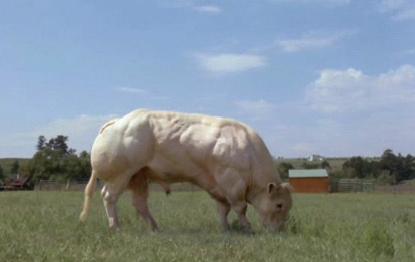 myostatin inhibited bull.JPG